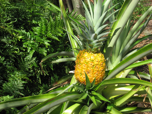 Pineapple for Plant pineapple top