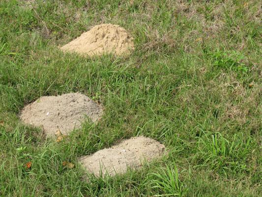 Pocket Gopher Mounds