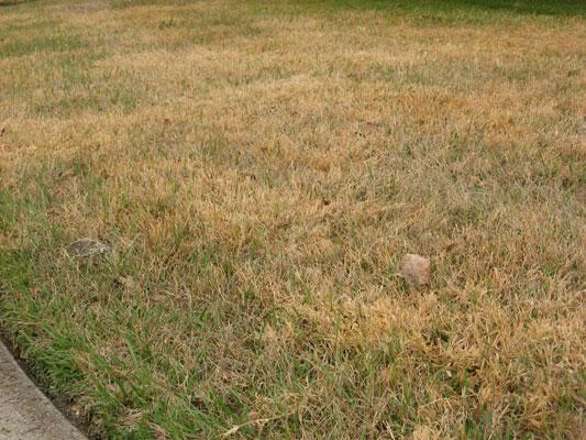 Winter Damaged Lawn